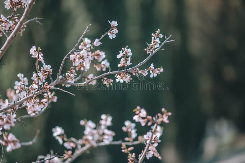 Ένας κλάδος ενός ανθίζοντας δέντρου με τα άσπρα λουλούδια στοκ φωτογραφία