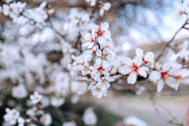 Ένας κλάδος ενός ανθίζοντας δέντρου με τα άσπρα λουλούδια στοκ εικόνες με δικαίωμα ελεύθερης χρήσης