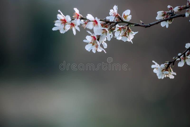 Ένας κλάδος ενός ανθίζοντας δέντρου με τα άσπρα λουλούδια στοκ εικόνες