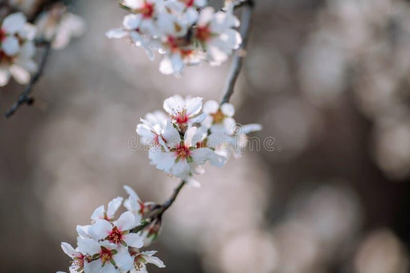 Ένας κλάδος ενός ανθίζοντας δέντρου με τα άσπρα λουλούδια στοκ εικόνα με δικαίωμα ελεύθερης χρήσης