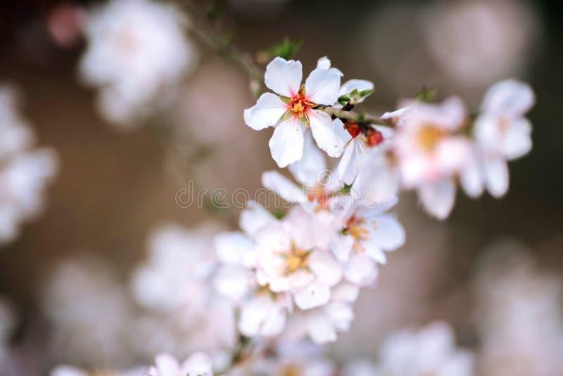 Ένας κλάδος ενός ανθίζοντας δέντρου με τα άσπρα λουλούδια στοκ φωτογραφίες με δικαίωμα ελεύθερης χρήσης