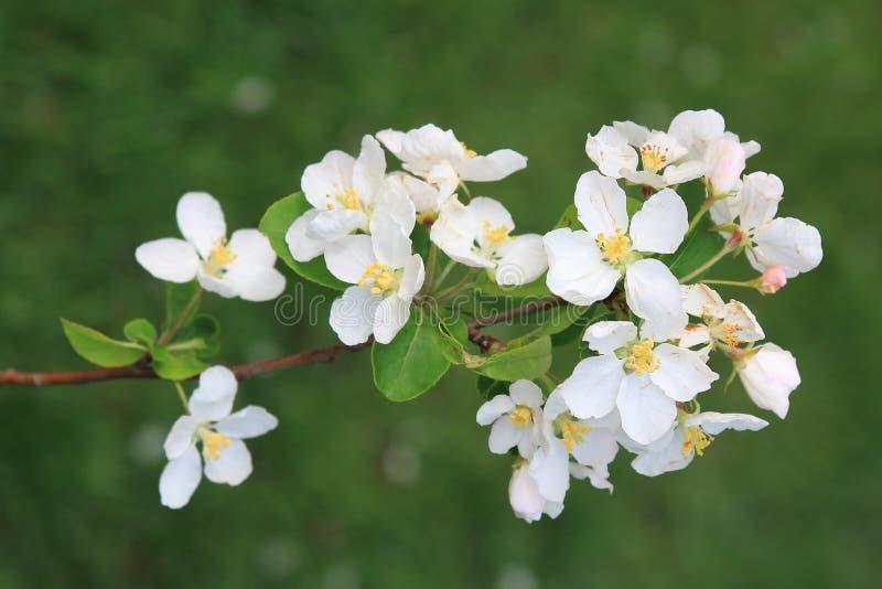 Ένας κλάδος ενός ανθίζοντας δέντρου μηλιάς άνοιξη με τα άσπρα λουλούδια σε ένα υπόβαθρο της πράσινης χλόης στοκ εικόνες