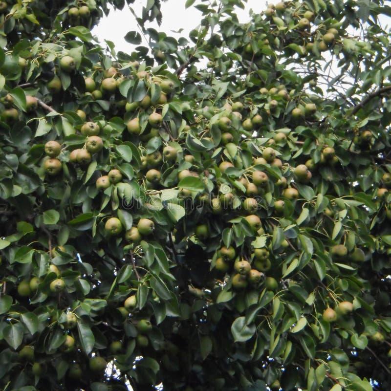 Ένας κλάδος ενός δέντρου στο οποίο αυξάνεται έναν τεράστιο αριθμό των αχλαδιών στοκ εικόνες