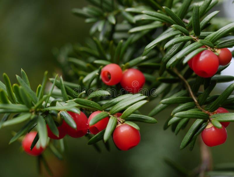 Ένας κλάδος ενός δέντρου yew με τα κόκκινα μούρα στοκ φωτογραφίες