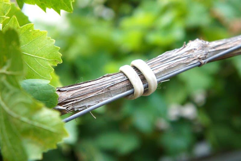 Ένας κλάδος σταφύλια υιοθετείται σε ένα καλώδιο από ένα άσπρο καλώδιο, που δένει τους κλάδους αμπέλων στον αμπελώνα στοκ εικόνα με δικαίωμα ελεύθερης χρήσης