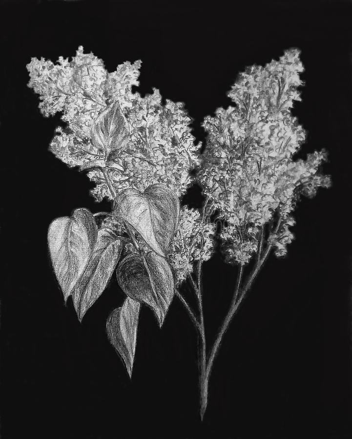 Ένας κλάδος της άσπρης πασχαλιάς σε ένα μαύρο υπόβαθρο ελεύθερη απεικόνιση δικαιώματος