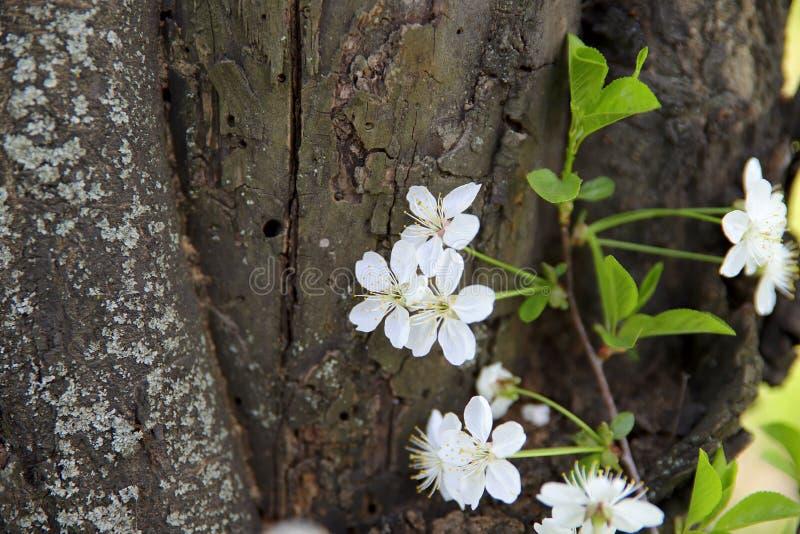 ένας κλάδος του ανθίζοντας κερασιού στο υπόβαθρο της σύστασης του κορμού ενός παλαιού δέντρου με τις ρωγμές και τις συνελίξεις στοκ φωτογραφία