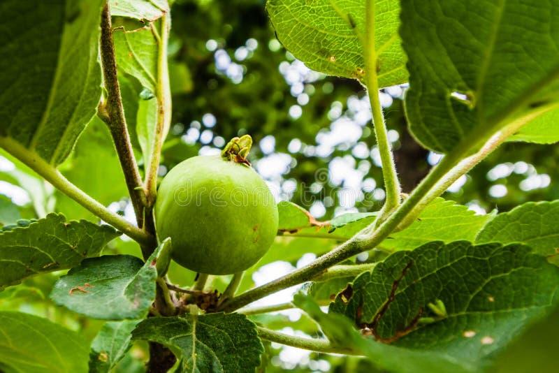 Ένας κλάδος των δέντρων μηλιάς με τα πράσινα φύλλα και τα μικρά μήλα ανάπτυξης r στοκ εικόνα
