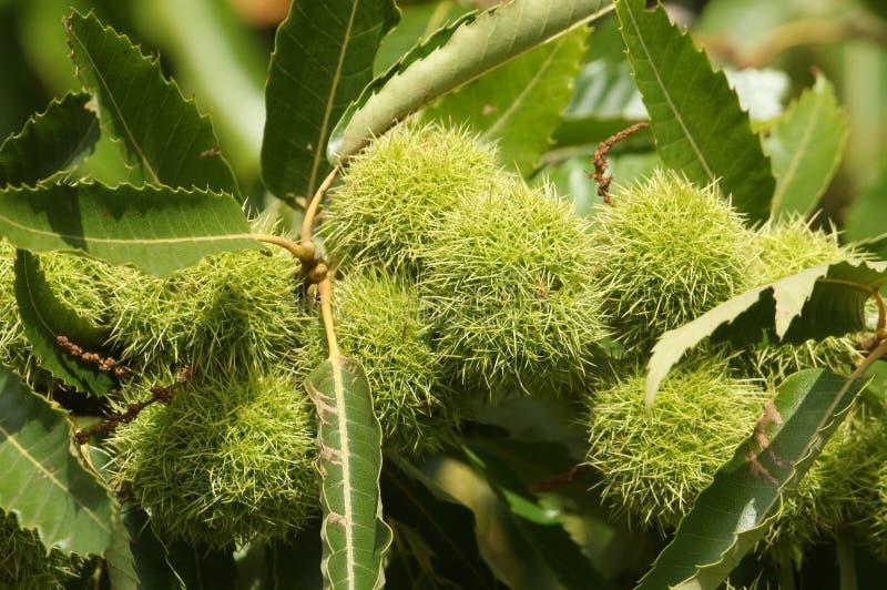 Ένας κλάδος των κάστανων σε ένα γλυκό δέντρο Castanea κάστανων sativa στο UK στοκ εικόνα με δικαίωμα ελεύθερης χρήσης