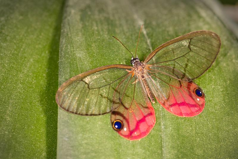 Ένας κοκκινίζοντας φανταστικός ή οξυδωμένος σάτυρος Clearwing στοκ φωτογραφία με δικαίωμα ελεύθερης χρήσης