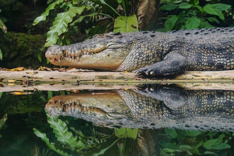 Ένας κροκόδειλος στο δάσος στοκ εικόνες