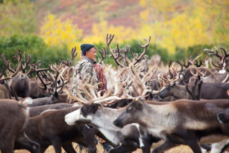 Ένας κτηνοτρόφος ταράνδων ατόμων μεταξύ του κοπαδιού του ταράνδου tundra το φθινόπωρο στοκ εικόνες