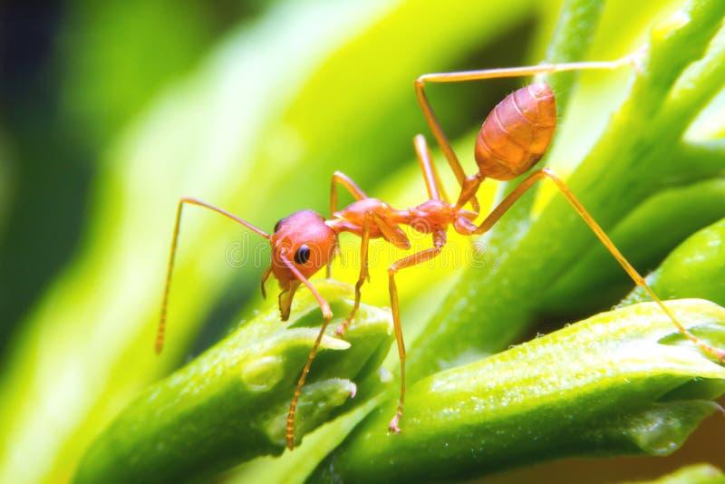 Ένας κόκκινος εργαζόμενος μυρμηγκιών πυρκαγιάς στο δέντρο, κλείνει επάνω στοκ εικόνα