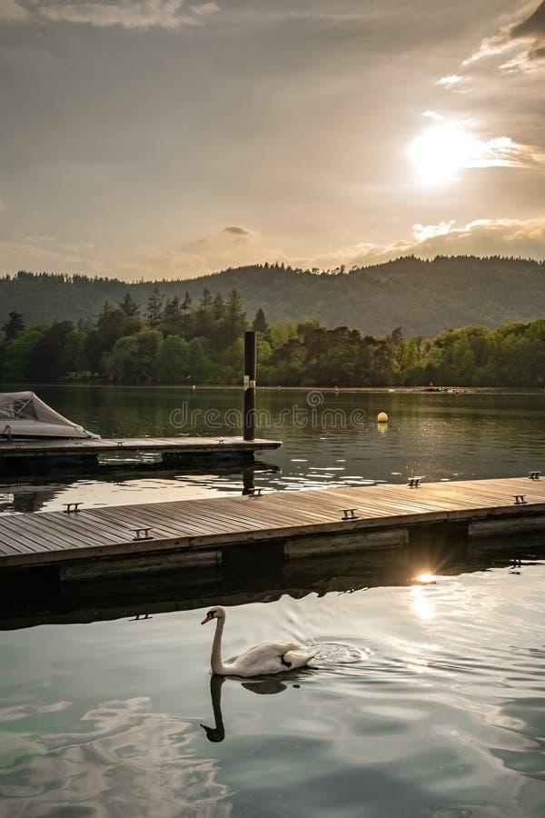 Ένας κύκνος που κολυμπά σε μια λίμνη χρειάζεται μια ξύλινη αποβάθρα κατά τη διάρκεια ενός όμορφου ρομαντικού ηλιοβασιλέματος στοκ φωτογραφία
