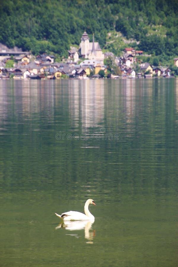 Ένας κύκνος στη λίμνη Hallstatt στα όρη, Άνω Αυστρία στοκ εικόνες