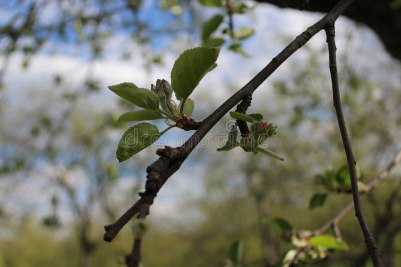 Ένας κλάδος δέντρων μηλιάς στοκ εικόνα