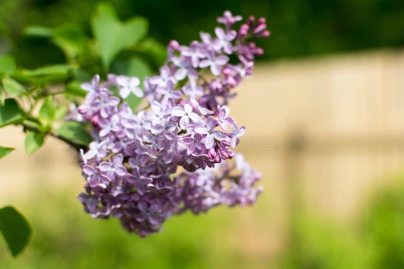 Ένας κλάδος του ιώδους, ευρασιατικού θάμνου ή του μικρού δέντρου, με την ευώδη βιολέτα, το ροζ, ή τα άσπρα άνθη στοκ εικόνες με δικαίωμα ελεύθερης χρήσης