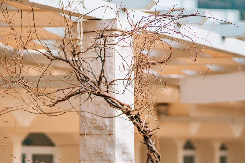 Ένας κλάδος του ξηρού δέντρου wisteria ενάντια στοκ εικόνα