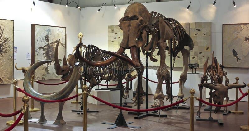 Ένας μαμμούθ σκελετός στα απολιθώματα & τα μεταλλεύματα GeoDecor στοκ εικόνα
