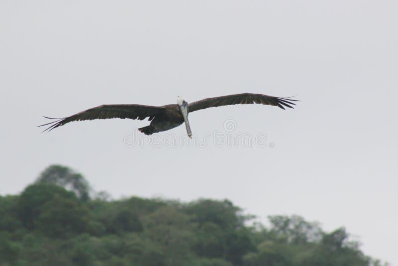 Ένας μεγάλος νεανικός πελεκάνος, occidentals pelicanus, με ένα άσπρο κεφάλι που πετά με τα φτερά που διαδίδονται έξω στοκ εικόνα