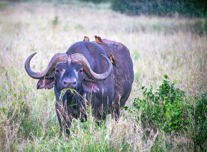 Ένας μεγάλος παλαιός βούβαλος Αφρικανού ή ακρωτηρίων τρώει τη χλόη σε μια ανοικτή πεδιάδα χλόης Εθνικό πάρκο Tsavo 5 πέντε ζώων τ στοκ εικόνα