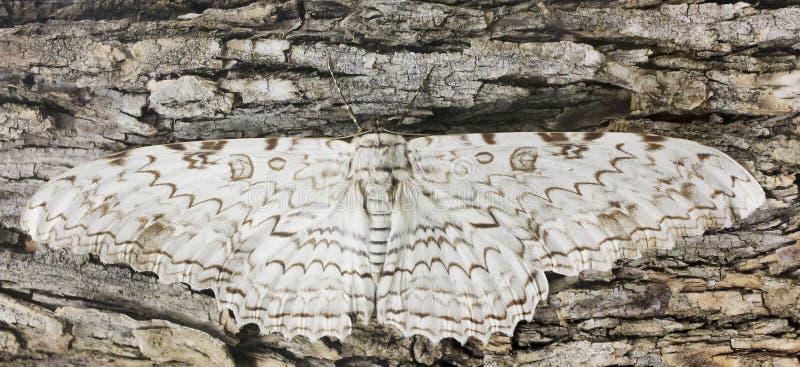 Ένας μεγάλος σκώρος Owlet περιμένει ακίνητο στο φλοιό στοκ εικόνα με δικαίωμα ελεύθερης χρήσης