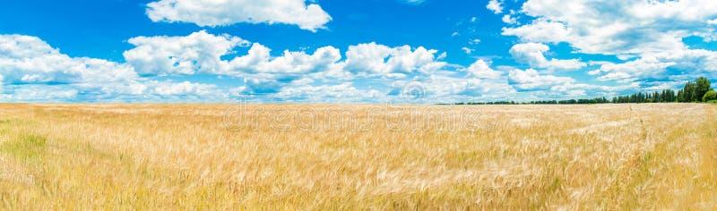 Ένας μεγάλος χρυσός τομέας σίτου Σωρείτης σε έναν σαφή μπλε ουρανό Πράσινο δάσος στον ορίζοντα r Η έννοια της καθαρότητας στοκ εικόνες