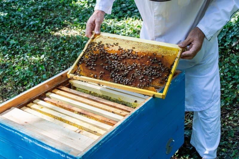 Ένας μελισσοκόμος βγάζει ένα πλαίσιο με τις μέλισσες από μια κυψέλη σε μια ηλιόλουστη καλοκαιρινή ημέρα στοκ εικόνα με δικαίωμα ελεύθερης χρήσης
