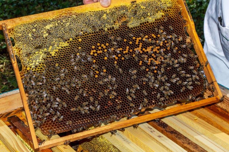 Ένας μελισσοκόμος βγάζει ένα πλαίσιο με τις μέλισσες από μια κυψέλη σε μια ηλιόλουστη καλοκαιρινή ημέρα στοκ φωτογραφίες με δικαίωμα ελεύθερης χρήσης