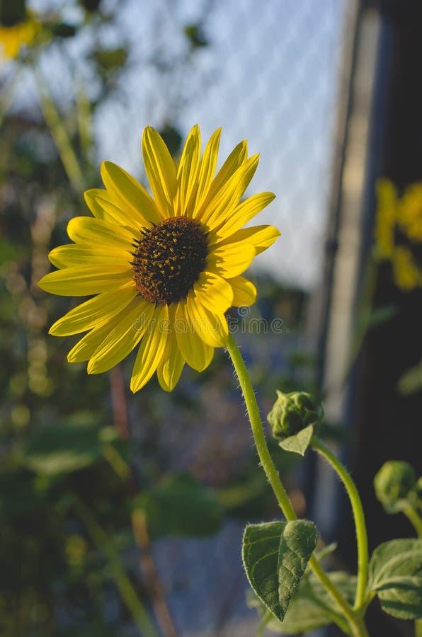 Ένας μικρός ηλίανθος κοιτάζει στον ήλιο βραδιού στοκ φωτογραφία με δικαίωμα ελεύθερης χρήσης
