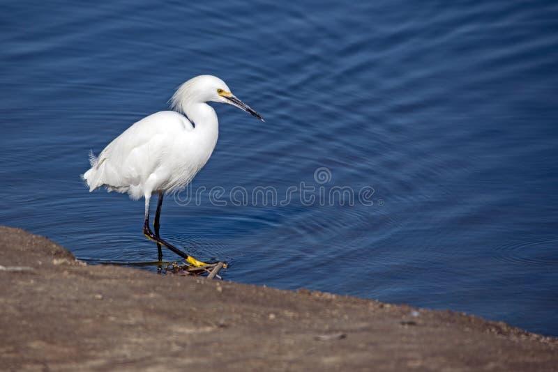 Ένας μικρός λευκός ερωδιός στην ακτή της λίμνης La Pas 2 στοκ εικόνα