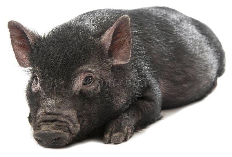 Ένας μικρός μαύρος χοίρος σε μια άσπρη ανασκόπηση στοκ εικόνες