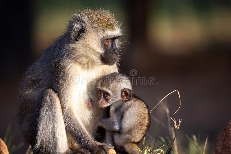 Ένας μικρός πίθηκος κάθεται με τη μητέρα του στη χλόη στοκ εικόνες