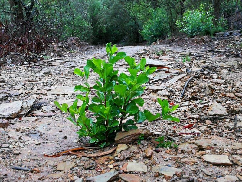Ένας μικρός πράσινος θάμνος στη μέση μιας δασικής πορείας ρύπου που περιβάλλεται από την πολύβλαστη πράσινη βλάστηση σε Robertson στοκ εικόνα με δικαίωμα ελεύθερης χρήσης