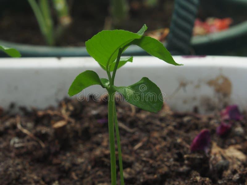 Ένας μικρός tangerine νεαρός βλαστός δέντρων Η φωτογραφία παρουσιάζει έναν μίσχο και χωρίζει στοκ φωτογραφίες με δικαίωμα ελεύθερης χρήσης