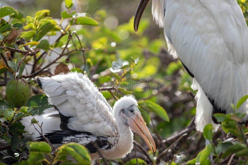 Ένας μωρών πελαργός ξύλινος πέρα από από το που προσέχει πουλί μητέρων στοκ φωτογραφίες με δικαίωμα ελεύθερης χρήσης
