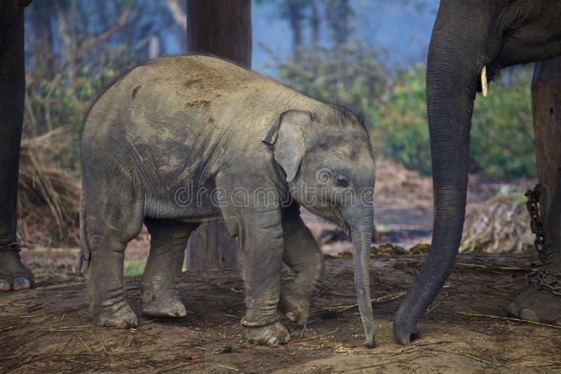 Ένας νέος ινδικός ελέφαντας στοκ εικόνες με δικαίωμα ελεύθερης χρήσης