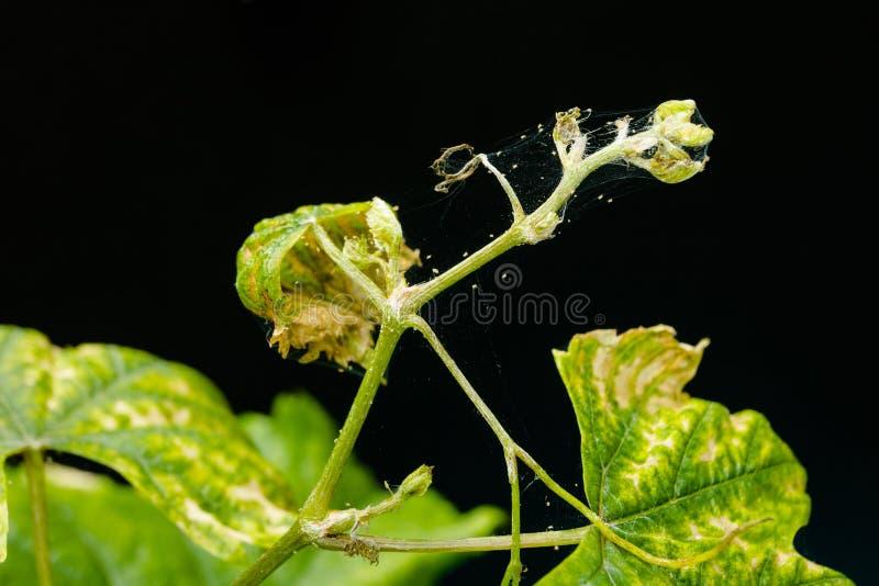 Ένας νέος νεαρός βλαστός των σταφυλιών είναι μολυσμένος με τα παράσιτα - ένα άκαρι αραχνών Απομονωμένος σε μια μαύρη ανασκόπηση στοκ εικόνες