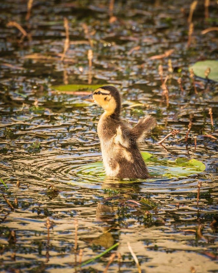Ένας νέος νεοσσός πρασινολαιμών που κολυμπά στη λίμνη στοκ εικόνες