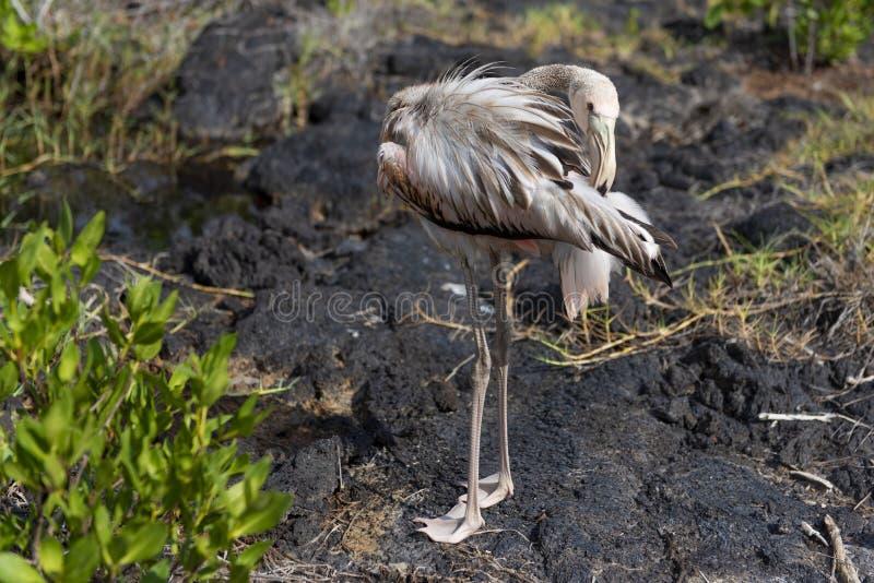 Ένας νέος νεοσσός φλαμίγκο που στέκεται στο βράχο λάβας στοκ φωτογραφίες