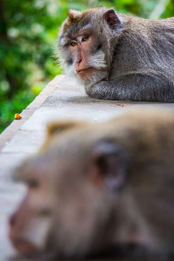 Ένας να μουτρώσει πίθηκος δίνει σε άλλο τη σιωπηλή επεξεργασία στοκ φωτογραφίες
