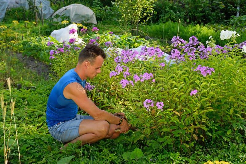 Ένας νεαρός άνδρας κόβει το Phlox στην πλοκή το καλοκαίρι μια ηλιόλουστη ημέρα στοκ εικόνα με δικαίωμα ελεύθερης χρήσης