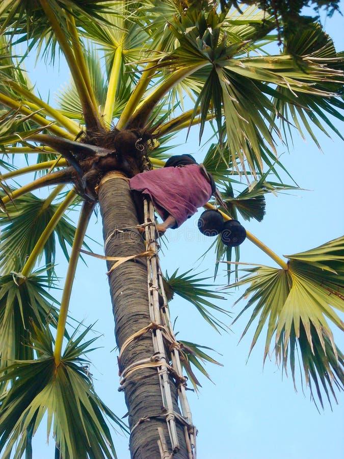 Ένας ορειβάτης cocos σε έναν φοίνικα στοκ φωτογραφίες με δικαίωμα ελεύθερης χρήσης
