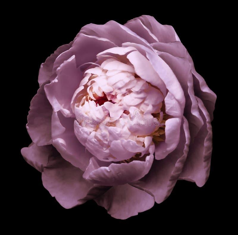 Ένας οφθαλμός του ρόδινου ανθίζοντας peony λουλουδιού Απομονωμένο λουλούδι στο μαύρο υπόβαθρο με το ψαλίδισμα της πορείας χωρίς σ στοκ εικόνες με δικαίωμα ελεύθερης χρήσης