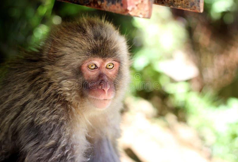 Ένας πίθηκος που χάνεται στις σκέψεις στοκ εικόνες