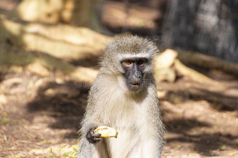 Ένας πίθηκος Vervet στοκ εικόνα