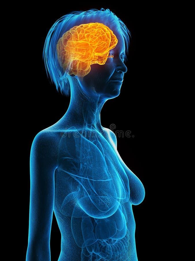 Ένας παλαιότερος εγκέφαλος θηλυκών ελεύθερη απεικόνιση δικαιώματος