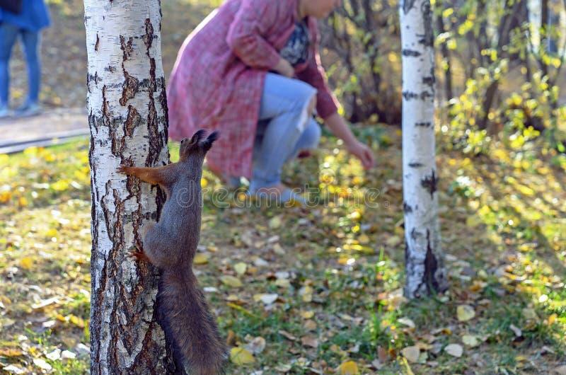 Ένας περίεργος σκίουρος σε ένα δέντρο εξετάζει τους ανθρώπους στοκ φωτογραφία με δικαίωμα ελεύθερης χρήσης