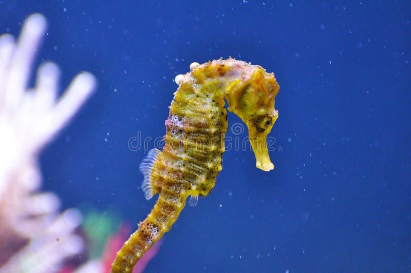 Seahorse - γένος ιππόκαμπος στοκ εικόνες