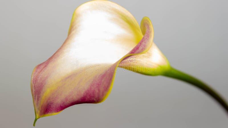 Ένας πορφυρός και χρυσός calla κρίνος σε ένα άσπρο κλίμα στοκ φωτογραφία με δικαίωμα ελεύθερης χρήσης